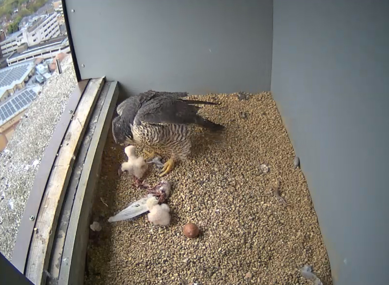 One of the Chicks being fed - 3rd May, 17.00