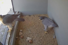 The first two chicks to hatch - 1st May 2016