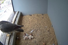 Two chicks, 1 unhatched egg - 3rd May, 17.00