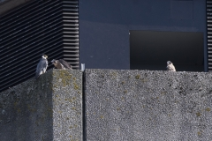 Peregrines Juveniles, North West Side.
