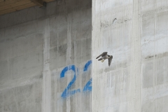 Urban Peregrine. Photo by James Sellen.