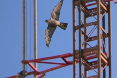 Urban Juvenile Peregrine. Photo by James Sellen.