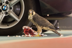 Peregrine in the Car Park I. Photo by Craig Denford.