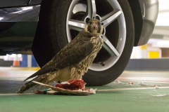 Peregrine in the Car Park IV. Photo by Craig Denford.