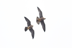 Formation Peregrines I. Photo by Craig Denford.
