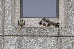 Tiercel left, falcon right. Photo by James Sellen.