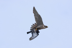 The tiercel bringing home dinner. Photo by Craig Denford.
